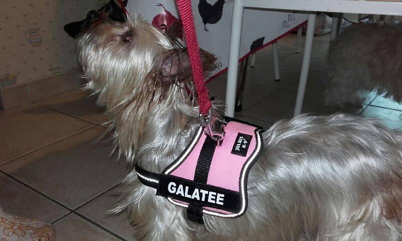 GALATEE, une tite york de 5 ans aux couleurs originales Harnai10