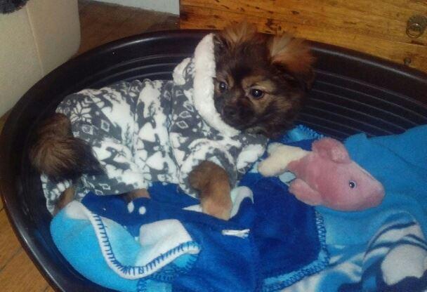 MUFFIN, épagneul Tibétain sorti d'élevage - notre Bébé Tinou Mantea10