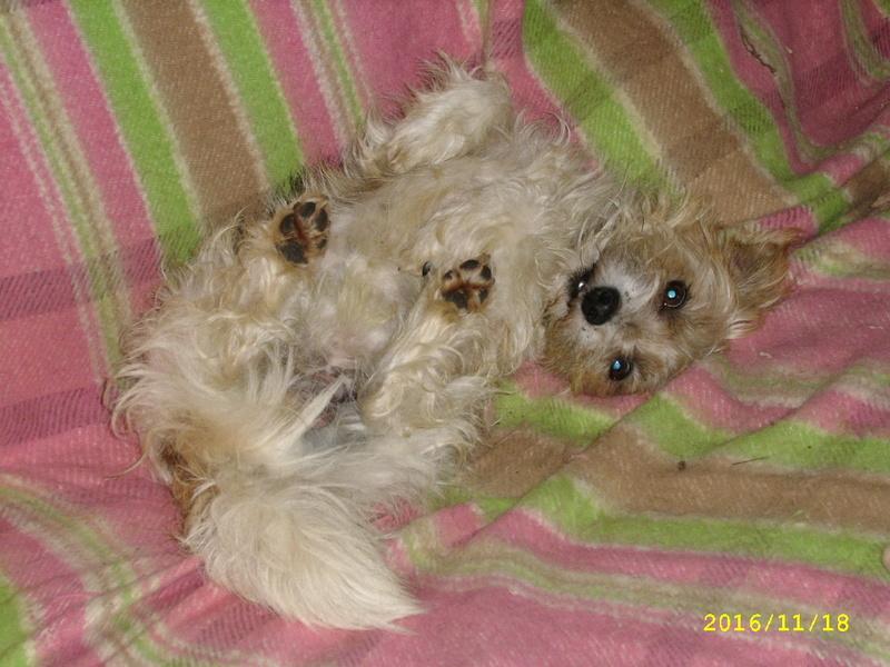 KOOKI, timide petit croisé bichon/fox de 2 ans Ssa56615