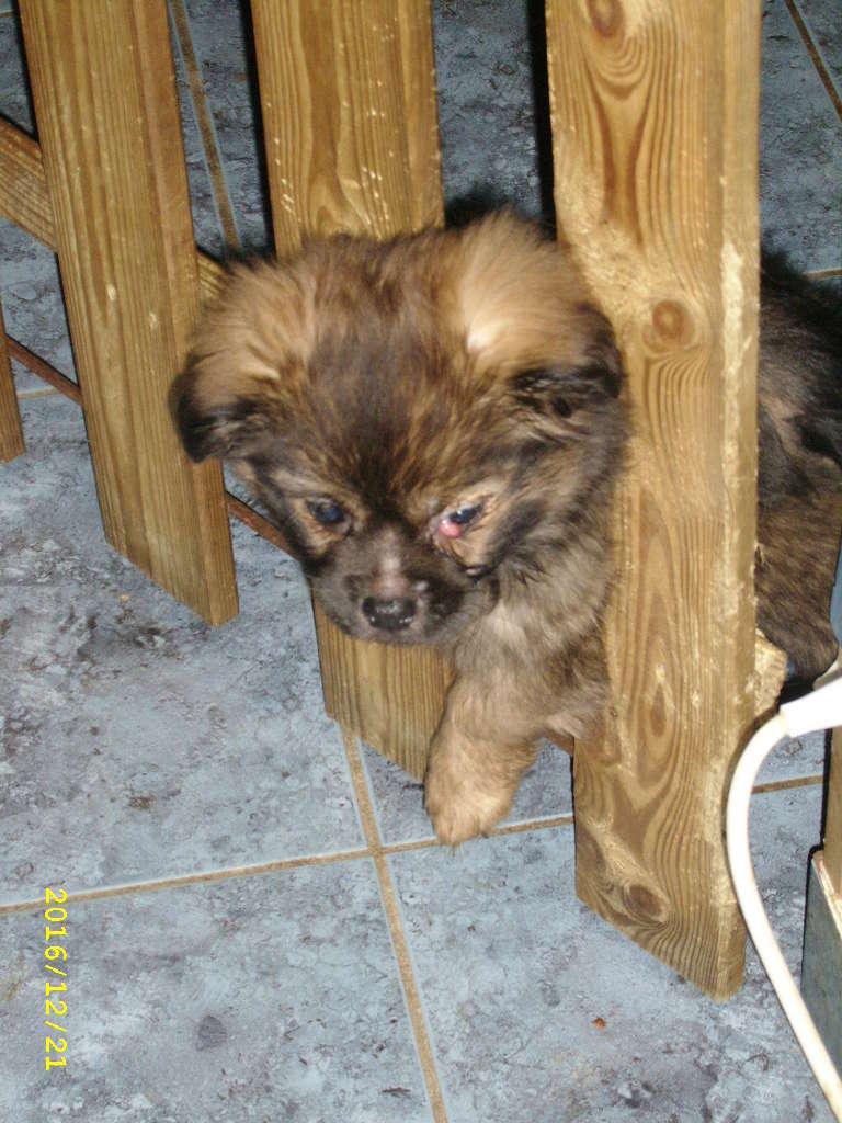 MUFFIN, épagneul Tibétain sorti d'élevage - notre Bébé Tinou Ssa56733