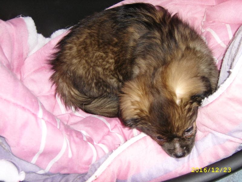 MUFFIN, épagneul Tibétain sorti d'élevage - notre Bébé Tinou Ssa56734