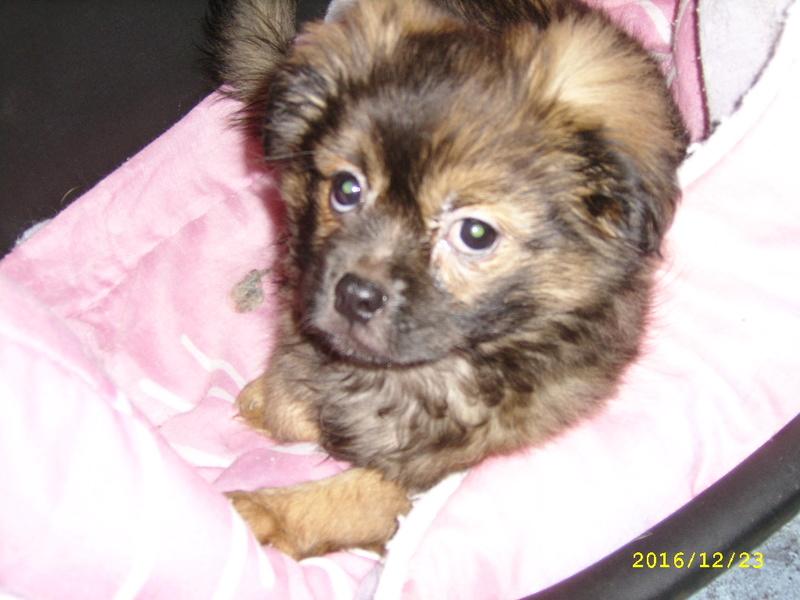 MUFFIN, épagneul Tibétain sorti d'élevage - notre Bébé Tinou Ssa56735