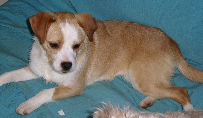 MERISE, adorable petite croisée fox / CKC de 10 mois Ssa56760