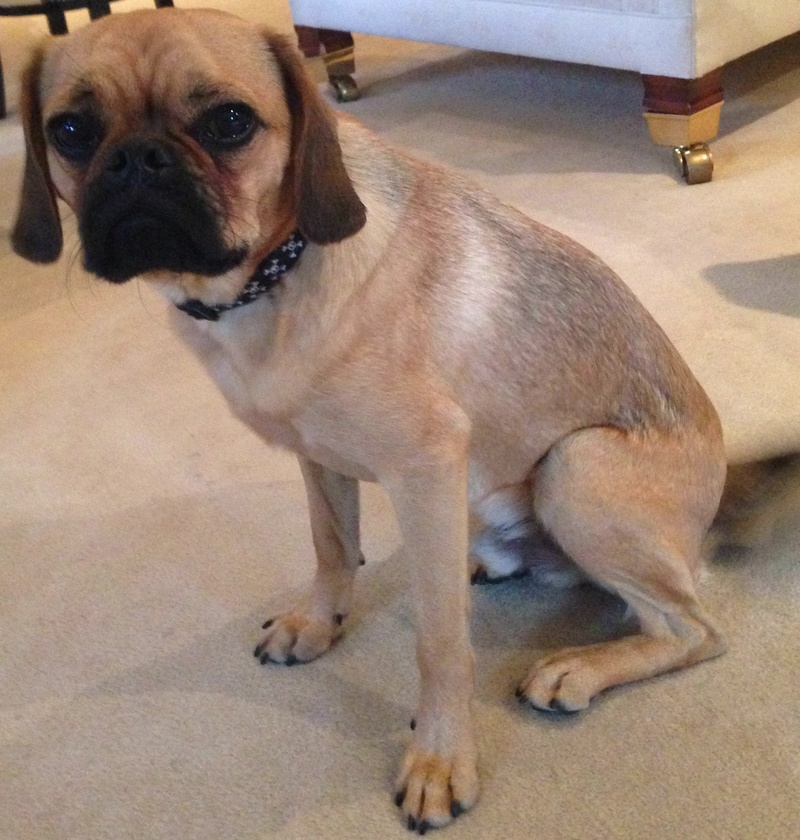 DEXTER FOUND SAFE AND WELL!!!!    Pug X Lost in Surrey Img_4014