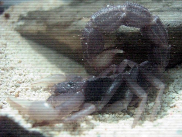 Who molted today? (Scorpion molting pics) - Page 2 96910010