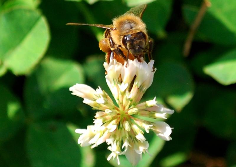 Honey Bees on my Clover 20130619