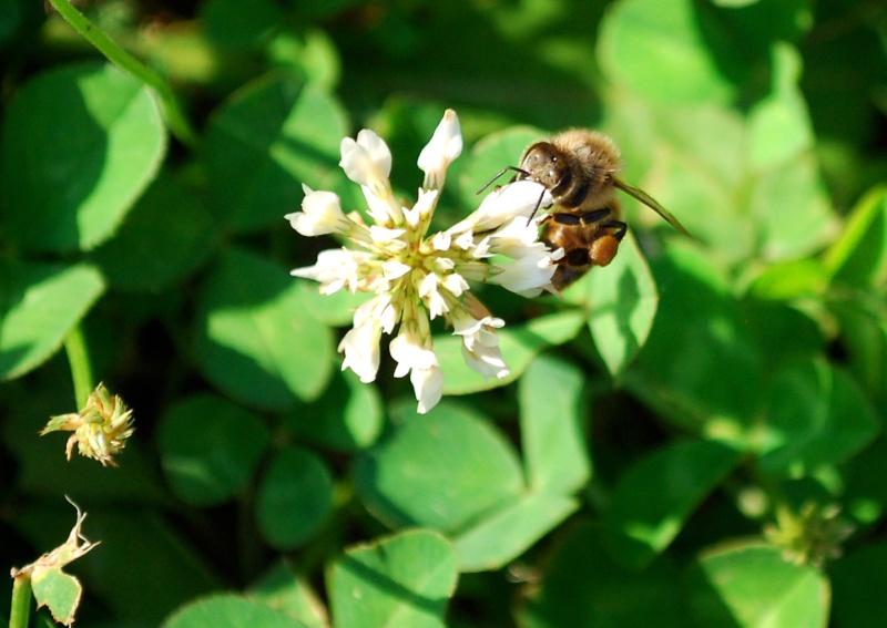 Honey Bees on my Clover 20130620