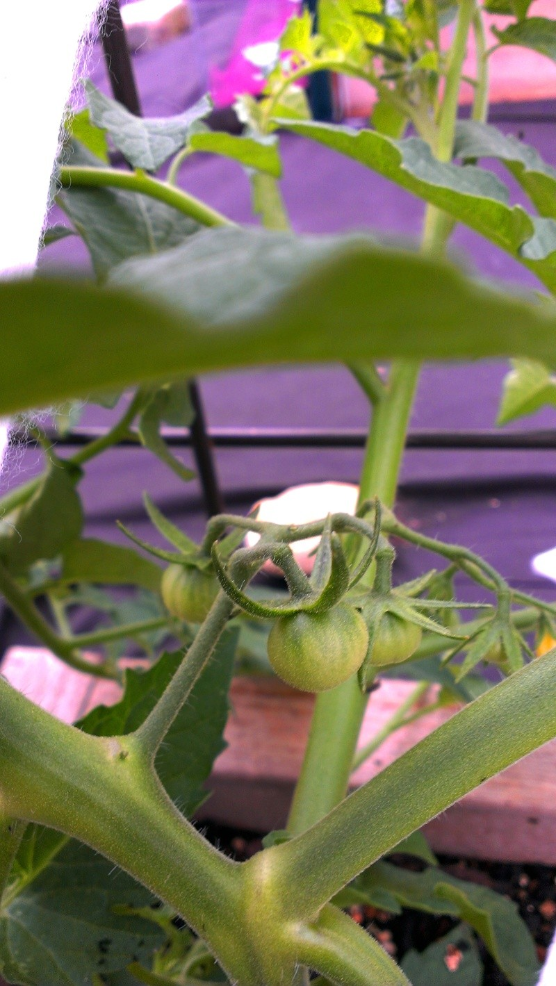 My First Tommy Toe Tomatoes 20130710