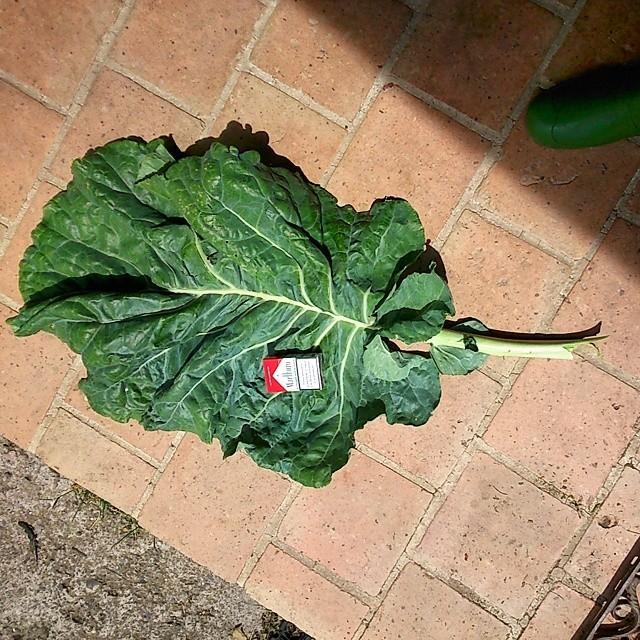 Kale, le chou qui a rendu fous les Américains. - Page 5 Hoja_b10