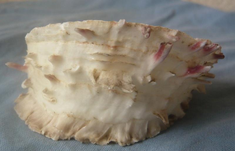 Spondylus gaederopus - Linnaeus, 1758 P1030255