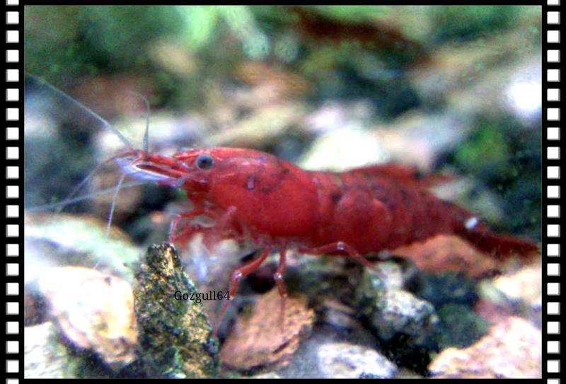 Gozgull Shrimp's - Page 10 Bloody10