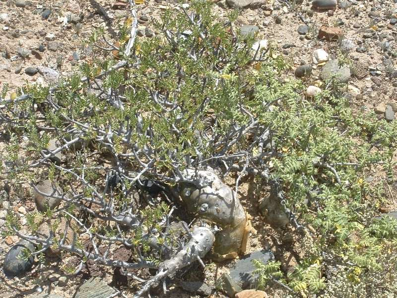 Bursera microphylla Dscf0017