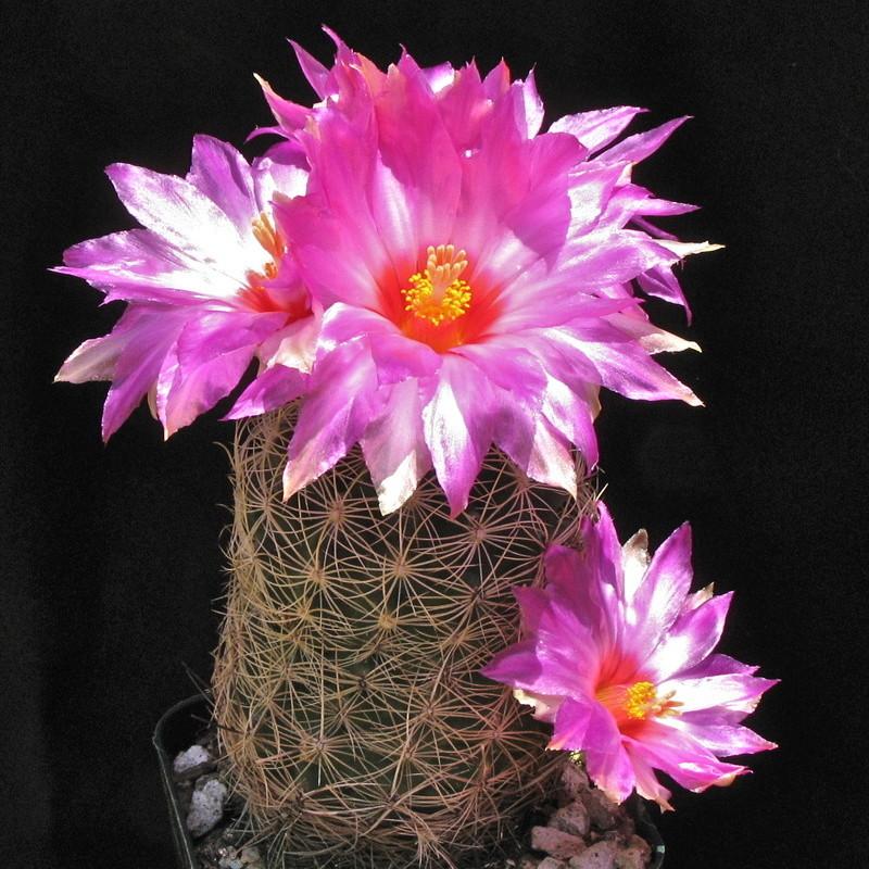 Thelocactus bicolor var. flavidispinus Img_5512