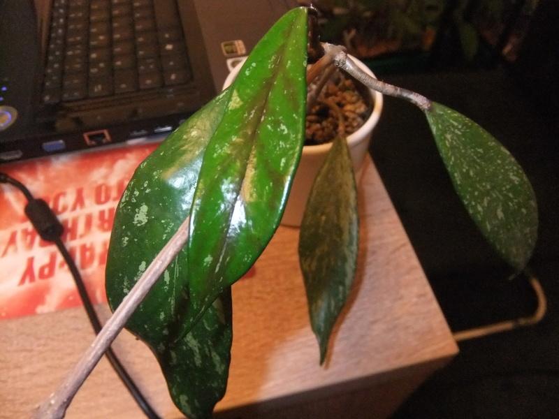 Wer kennt sich aus im pubicalyx Dschungel? Dscf3310