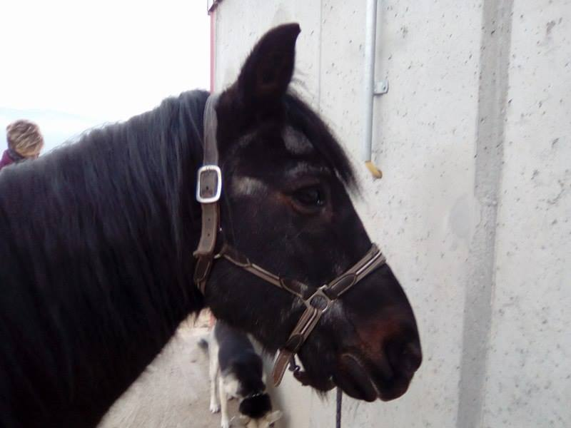 ULYSSE - Poney OI né en 1986 - protégé GPLV 15941611