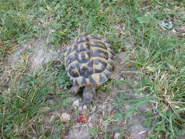 nouvelle tortue c'est quoi et le sexe Tortue15