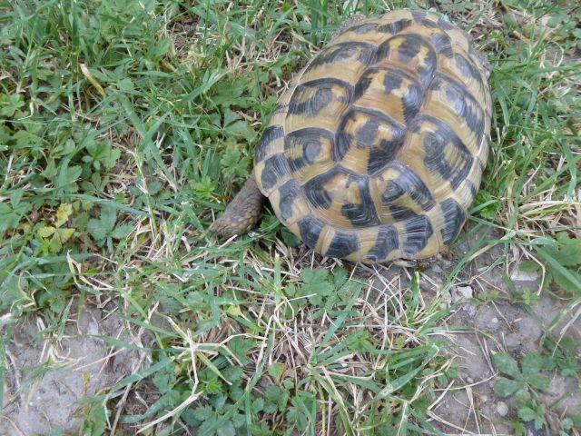 nouvelle tortue c'est quoi et le sexe Tortue16
