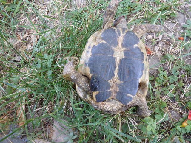 nouvelle tortue c'est quoi et le sexe Tortue17