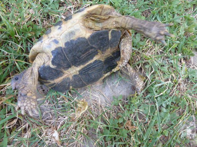 nouvelle tortue c'est quoi et le sexe Tortue18