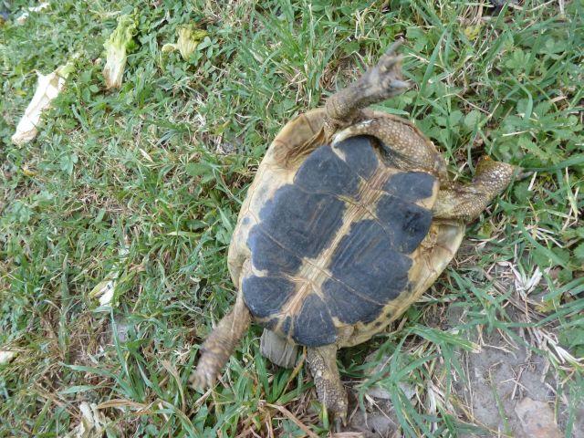nouvelle tortue c'est quoi et le sexe Tortue19