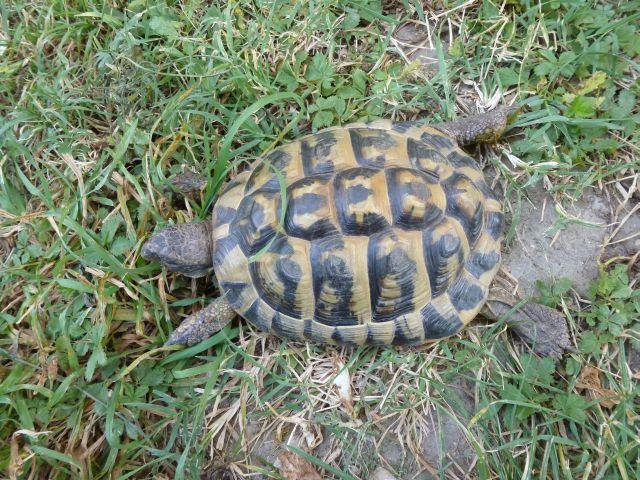 nouvelle tortue c'est quoi et le sexe Tortue20