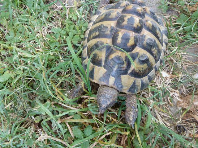 nouvelle tortue c'est quoi et le sexe Tortue21