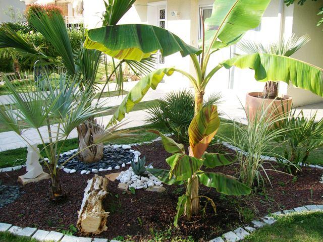 Evolutions des bananiers Photo_21