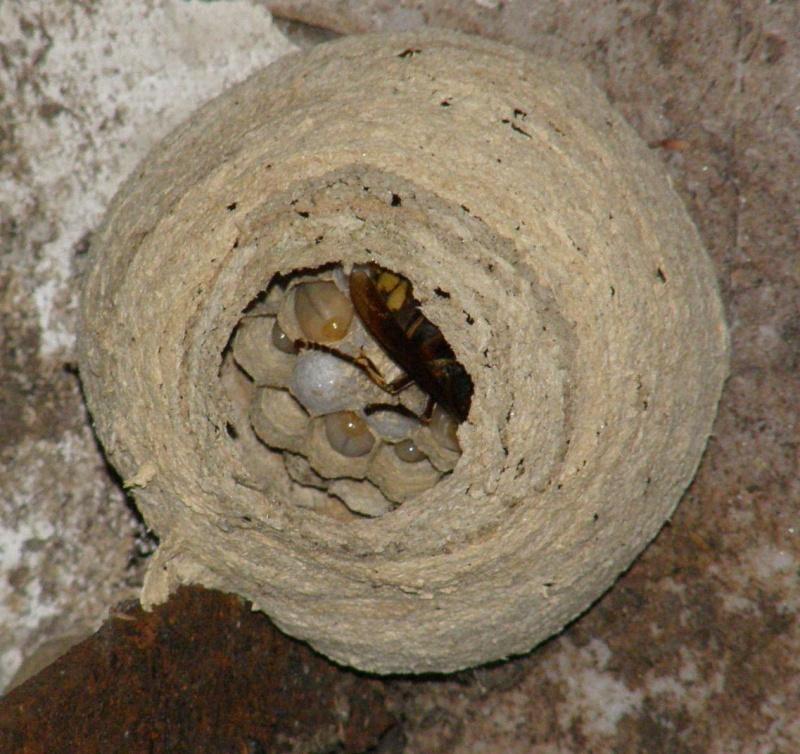 Suivi colonie Vespa crabro Frelon11