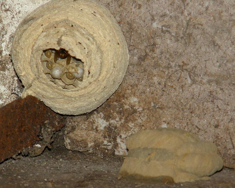 Suivi colonie Vespa crabro Frelon14