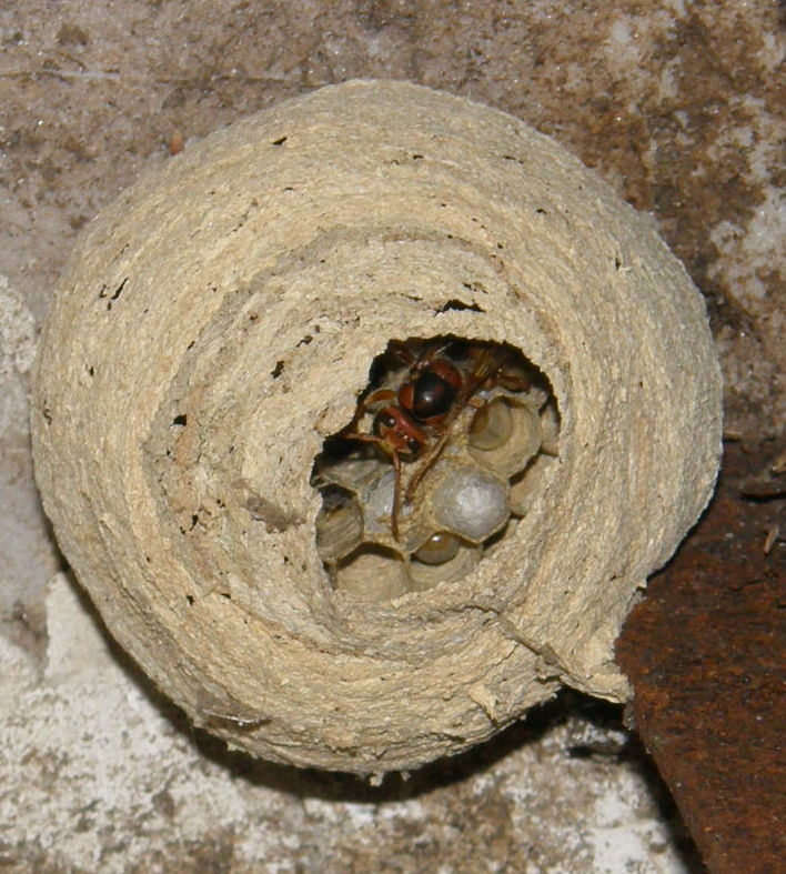 Suivi colonie Vespa crabro Frelon15