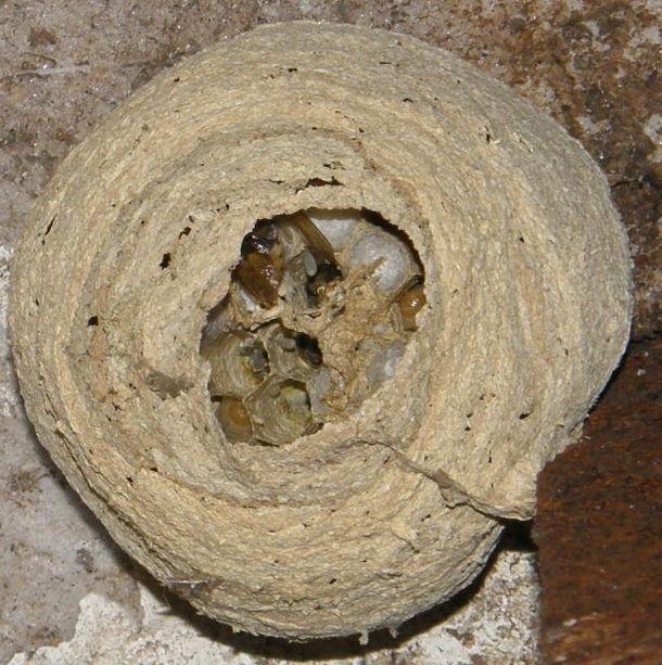 Suivi colonie Vespa crabro Frelon17