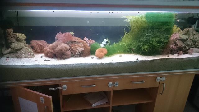 Algue Chaetomorpha et caulerpe  pour recifal Dsc_0117