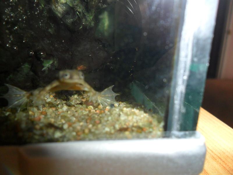 Mes grenouilles de petites tailles - Page 9 Sam_7517