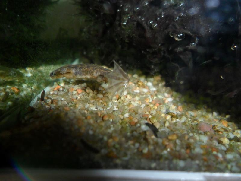 Mes grenouilles de petites tailles - Page 9 Sam_7518
