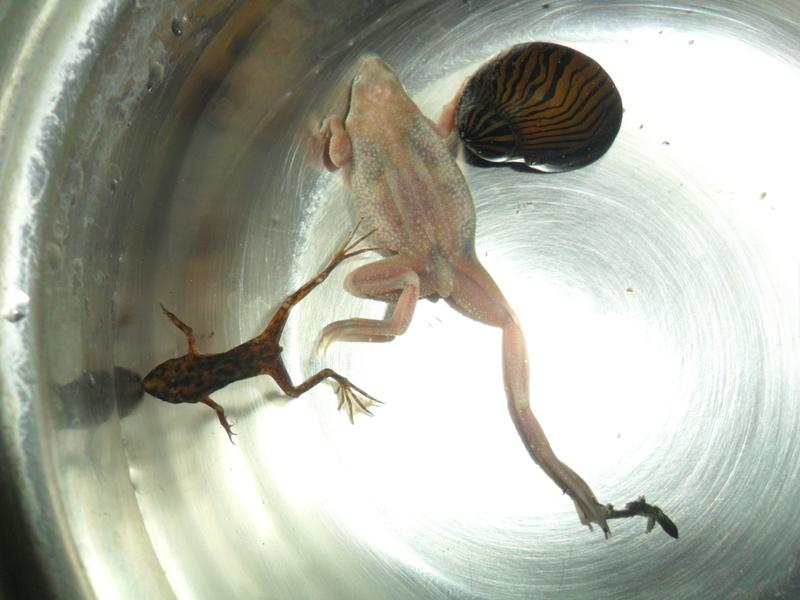 Mes grenouilles de petites tailles - Page 9 Sam_7718