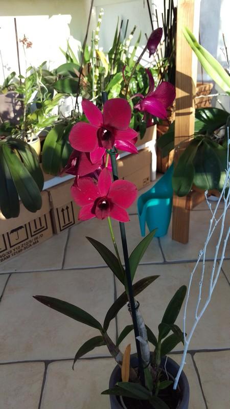 Dendrobium Phalaenopsis Thailand Black Dendro10