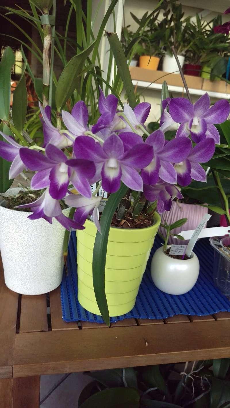 Dendrobium type Phalaenopsis Blue Happiness Imag4410