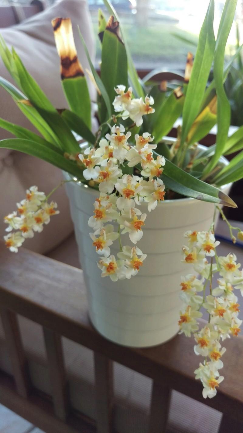 Oncidium Twinkle White Imag4510