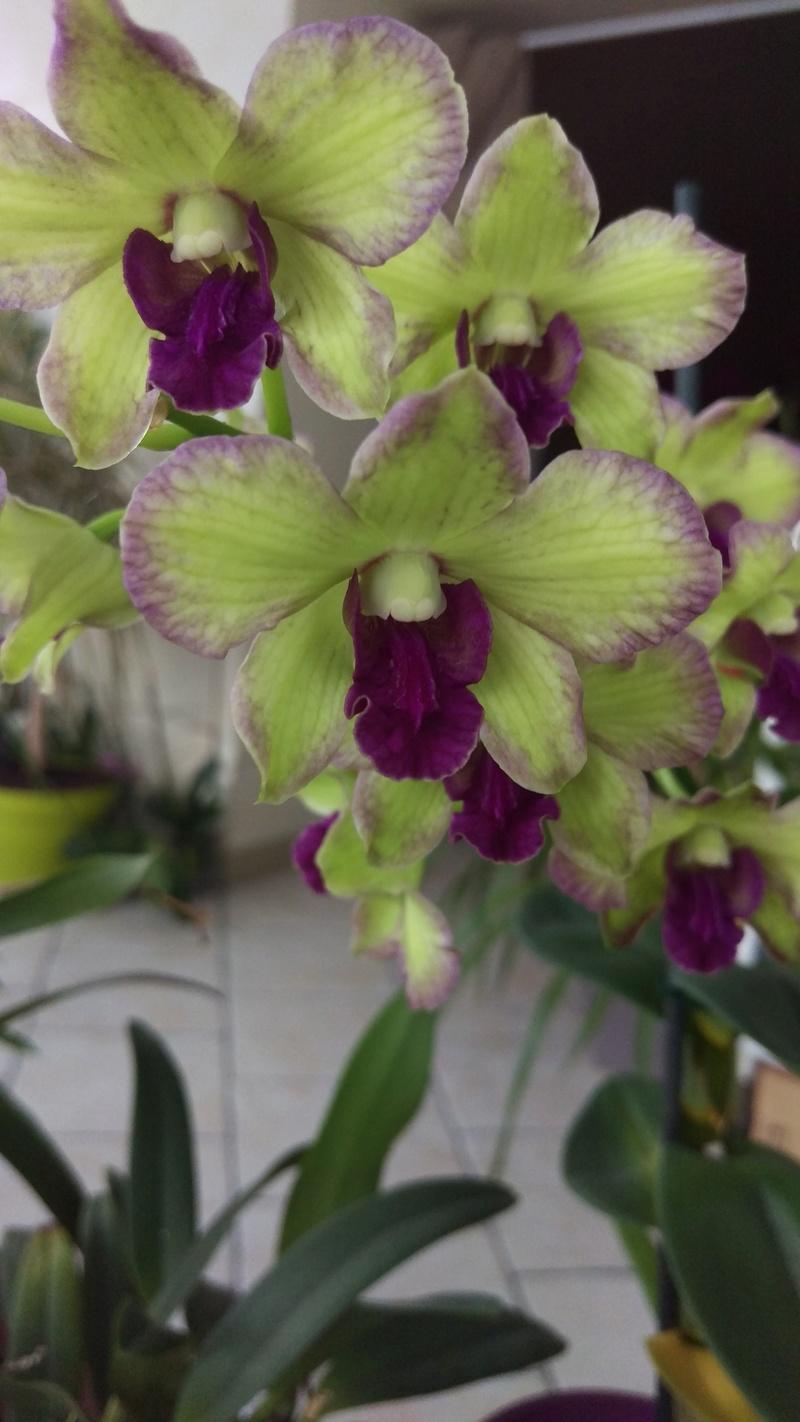 Dendrobium type Phalaenopsis Imag4713