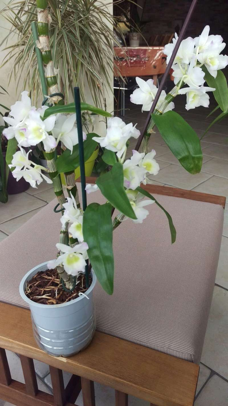 Dendrobium nobile Spring dream Apolon Imag4810
