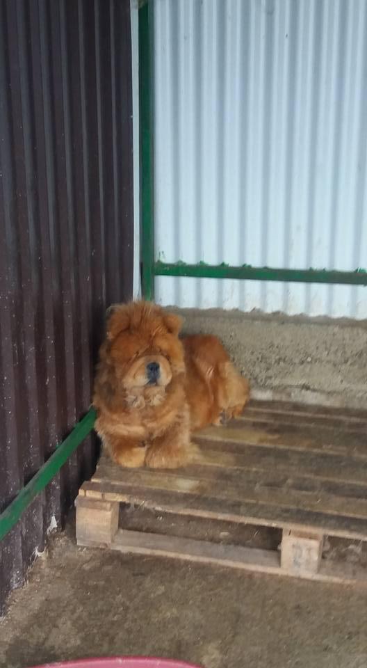 WOOKIE, femelle chow chow, taille moyenne née env 2011 (Pascani)- REMEMBER ME LAND - Adoptée par Sonia (dpt57) Wookie10