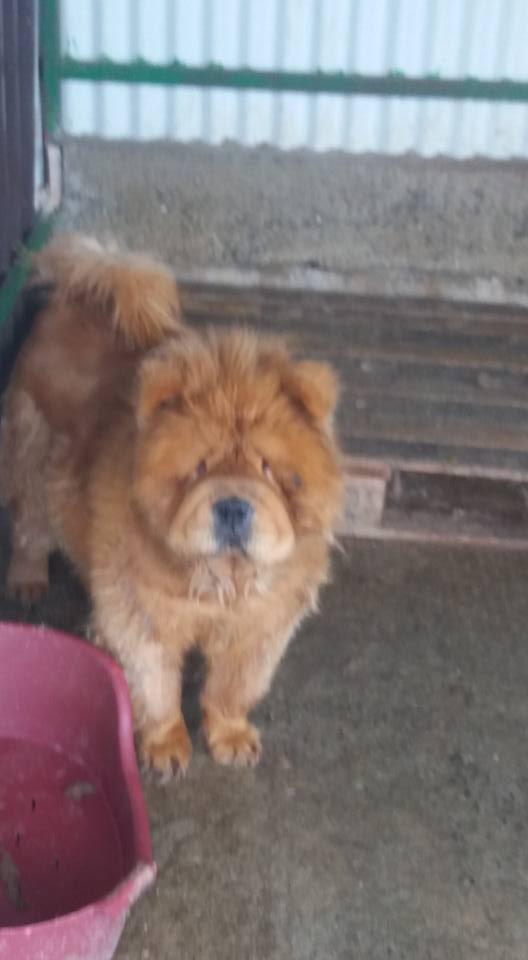 WOOKIE, femelle chow chow, taille moyenne née env 2011 (Pascani)- REMEMBER ME LAND - Adoptée par Sonia (dpt57) Wookie11