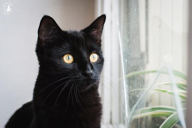 Les chats à adopter, adaptés à la vie en appartement Judith22