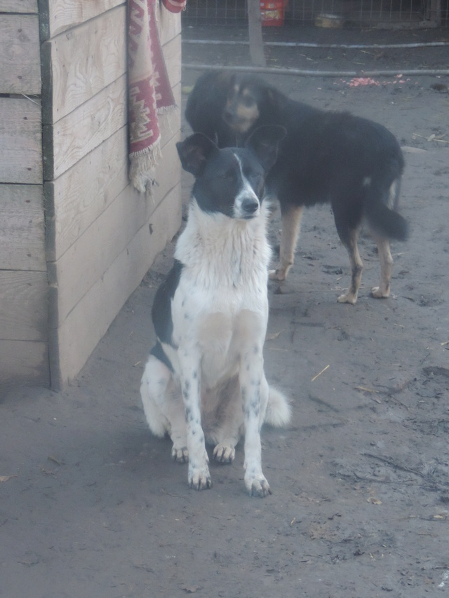GAYA- femelle noire et blanche née en 2013- parrainée par Skara - SC-SOS-R- - Page 3 Gaya_410