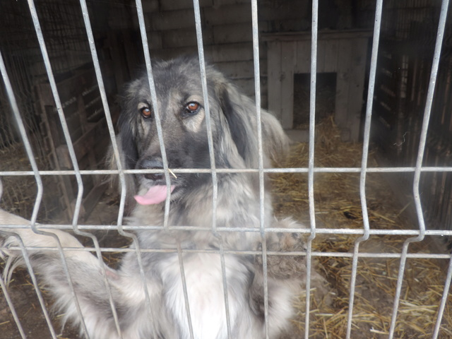 SARRA, croisée berger des Carpates née en 2014 - Parrainée par Dankesori -SC-R-SOS- Sarra10