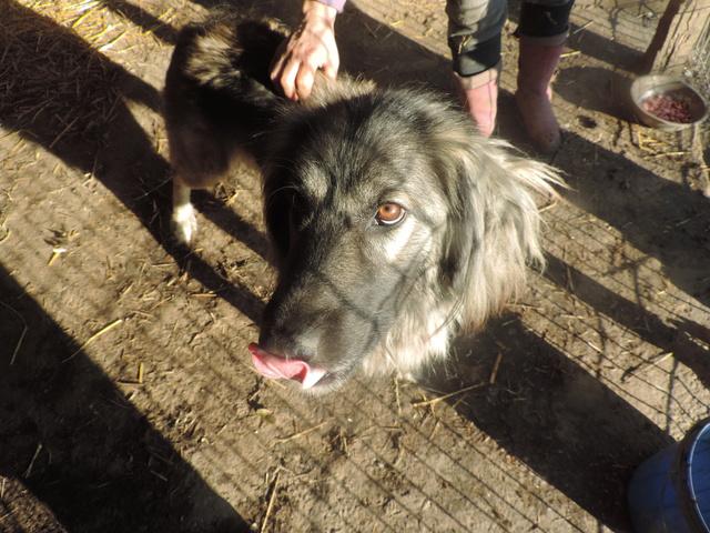 SARRA, croisée berger des Carpates née en 2014 - Parrainée par Dankesori -SC-R-SOS- Sarra_11