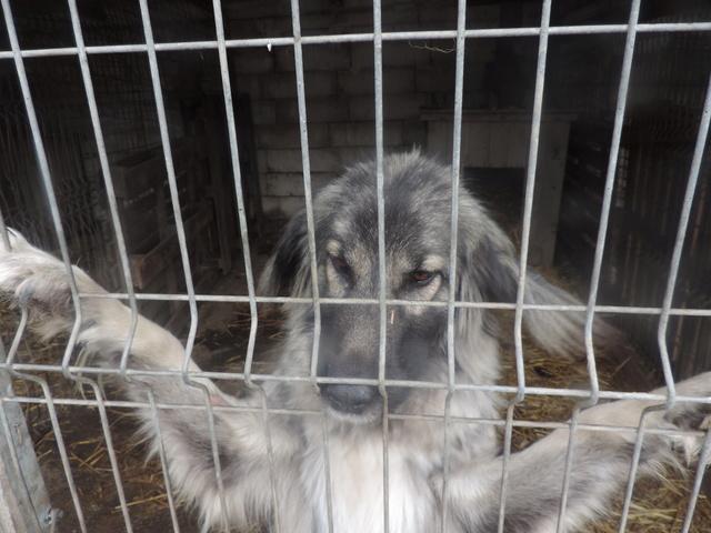 SARRA, croisée berger des Carpates née en 2014 - Parrainée par Dankesori -SC-R-SOS- Sarra_13