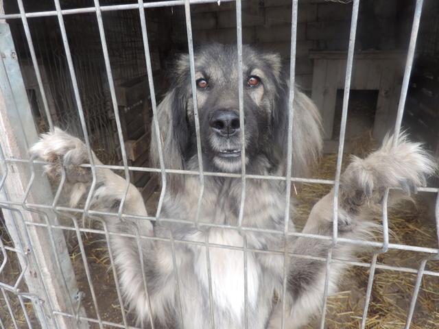 SARRA, croisée berger des Carpates née en 2014 - Parrainée par Dankesori -SC-R-SOS- Sarra_14