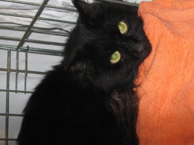 magnifique jeune chat noir poil long cherche adoptants ou FA ( 91) Img_2912