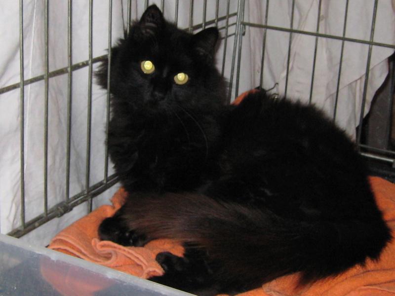 magnifique jeune chat noir poil long cherche adoptants ou FA ( 91) Img_3012